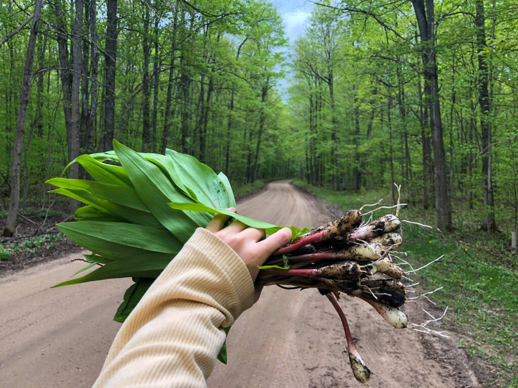 foraging ramps in pigeon river state forest